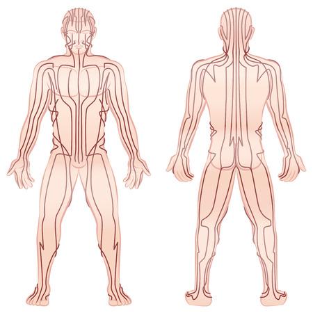 Meridianos - hombre meditando con los principales meridianos de acupuntura - vista frontal, vista posterior - Ilustración aislada en el fondo blanco. Vectores