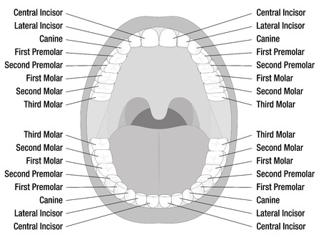 Temporary teeth permanent teeth number of milk teeth and 52544552 teeth names of permanent teeth isolated illustration on white background ccuart Image collections