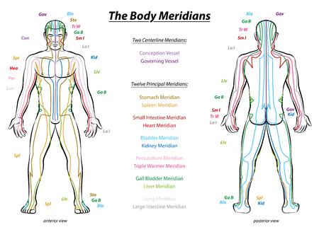 organi interni: Grafico Meridian sistema - corpo maschile con capitale e meridiani dell'agopuntura linea centrale - anteriore e posteriore vista - Medicina Tradizionale Cinese - Illustrazione isolato su sfondo bianco.