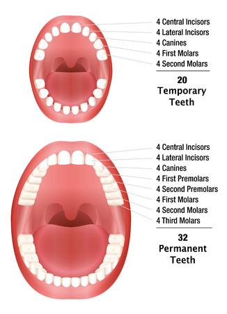 molares: Los dientes temporales - Los dientes permanentes - Número de dientes de leche y dientes permanentes. ilustración sobre fondo blanco.