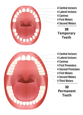 on temporary: Temporary Teeth - Permanent Teeth - Number of milk teeth and adult teeth. Isolated illustration on white background.