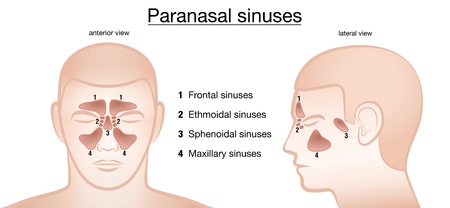 Paranasal sinuses. Frontal, ethmoidal, sphenoidal and maxillary sinuses. Anterior and lateral view. Isolated vector illustration on white background.