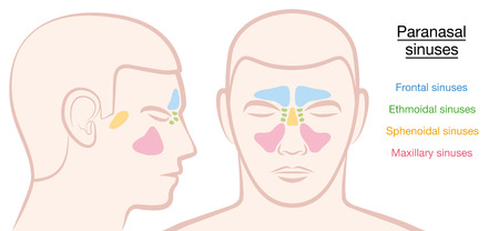 Paranasal sinuses on a male face in different colors - frontal, ethmoidal, sphenoidal and maxillary sinuses. Isolated illustration on white background.
