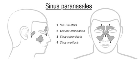 maxillary: Paranasal sinuses - LATIN TERMS! Isolated illustration over white.