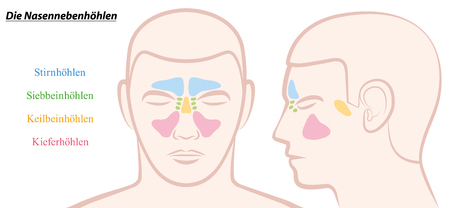 frontal sinuses: Paranasal sinuses on a male face in different colors