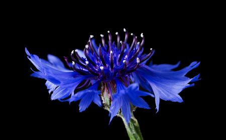 macro   photo: Cornflower side view on black background. Centaurea cyanus from the family Asteraceae, native in Europe. Macro photo.