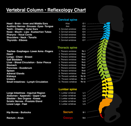 Réflexologie chart - squelette humain avec description précise des organes internes et les parties du corps correspondant, et avec les noms et les numéros des vertèbres.
