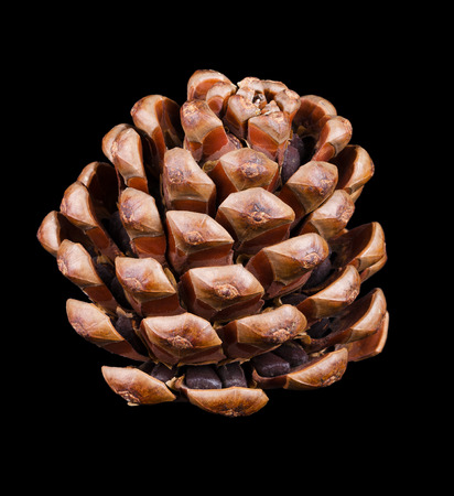 Pine cone sideview closeup. Geometric conifer cone in the division Pinophyta did contains the reproductive structures, the seeds, did kann seen in the picture. Macro photo on black background. Stock Photo