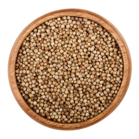 coriandrum sativum: Dried coriander seeds in a wooden bowl on white background. Edible brown fruits of Coriandrum sativum, also cilantro or Chinese parsley, used as a spice in food preparation. Isolated macro close up.