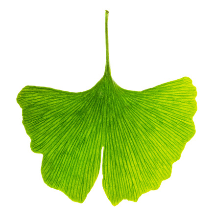 ginkgo leaf: Translucent ginkgo biloba leaf in transmitted light. Light passes through a Ginkgo leaf. Also maidenhair tree, in the division Ginkgophyta. Used in medicine. Isolated macro photo close up from above.