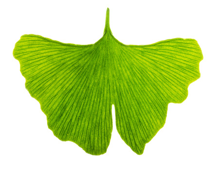 ginkgo leaf: Ginkgo biloba leaf in transmitted light. Light passes through a translucent Ginkgo leaf. Also maidenhair tree, in the division Ginkgophyta. Used in medicine. Isolated macro photo close up from above.
