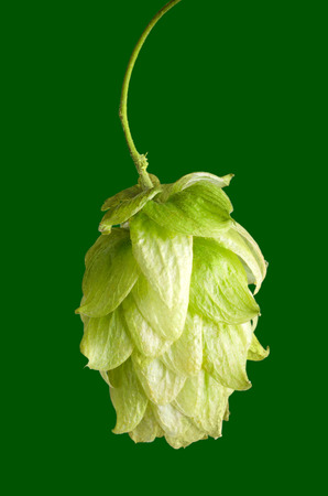 hop cone: Hop flower seed cone on green background. Hop plant Humulus lupulus, used as a flavoring and stability agent in beer and as a herbal medicine. Macro food photo close up.