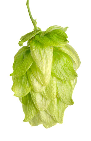 edible plant: Hop flower seed cone on white background. Hop plant Humulus lupulus, used as a flavoring and stability agent in beer and as a herbal medicine. Macro food photo close up.
