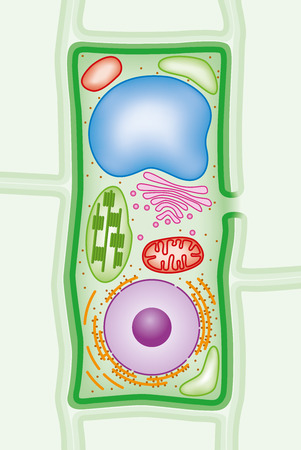 Plant cell structure cross-section with Green cell wall, membranes, and chloroplasts, purple nucleus, orange endoplasmic reticulum and ribosomes, blue vacuole, pink Golgi body and red mitochondria. Illustration