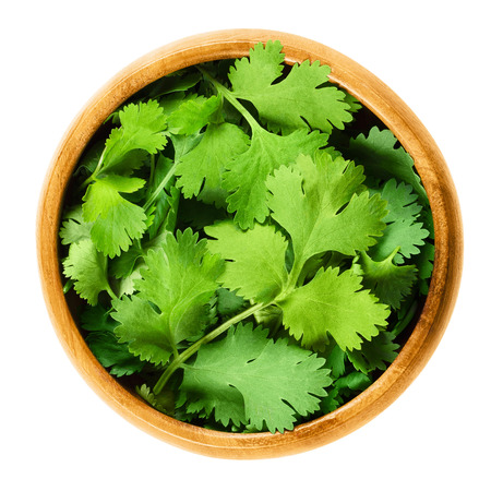 coriandrum sativum: Fresh coriander leaves, also known as cilantro, Chinese parsley and dhania, in a wooden bowl on white background. Green Coriandrum sativum. Edible herb. Isolated macro food photo close up from above.