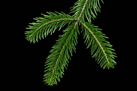 coniferous tree: European silver fir branch from above on black background. Foliage of Abies alba, an evergreen coniferous tree with glossy dark green needle like leaves. Isolated close up macro photo.