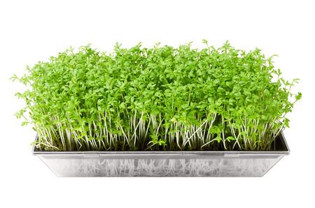 화이트 이상 격리 씨앗 sprouter에서 정원 유채과 야채입니다. Lepidium sativum, 식용 허브 및 마이크로 그린의 젊은 식물. 또한 겨자 및 유채과 야채, 정원 고