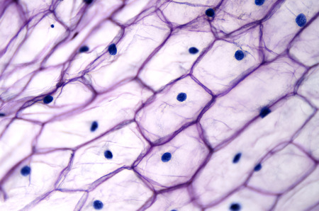 Onion epidermis with large cells under light microscope. Clear epidermal cells of an onion, Allium cepa, in a single layer. Each cell with wall, membrane, cytoplasm, nucleus and large vacuole. Photo. Stock Photo