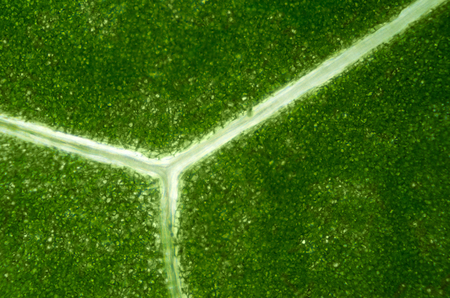 vacuole: Lettuce leaf under light microscope. Detail of a Batavia leaf with green chloroplasts and translucent branching veins. Macro food photo close up from above.