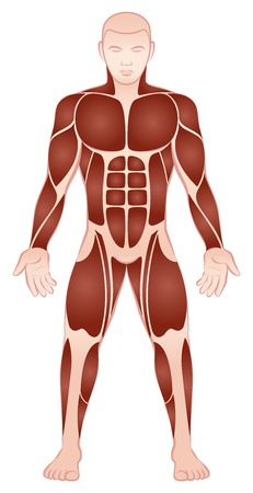 Muscle groups of a muscular male bodybuilder with athletically trained pecs, abs, deltoids, six pack and quads - front view - isolated vector illustration on white background.