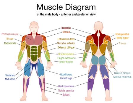 Diagramma muscolare - muscoli più importanti di un corpo maschile atletico - vista anteriore e posteriore - etichetta illustrazione vettoriale isolato su sfondo bianco. Vettoriali