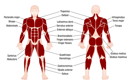 Muscle chart with accurate description of the most important muscles of the human body - front and back view - isolated vector illustration on white background.