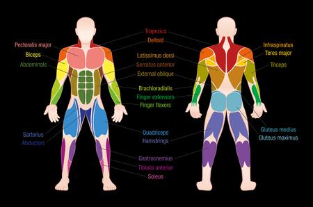 La carta del músculo con los músculos más importantes del cuerpo humano - coloreó la vista anterior y posterior - marcó la ilustración aislada del vector en fondo negro.
