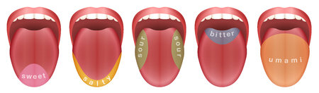 Tongue with five taste buds areas - sweet, salty, sour, bitter and umami. Isolated vector illustration on white background.  イラスト・ベクター素材
