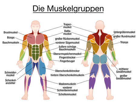 Muscle Group Chart Male Body With The Largest Human Muscles
