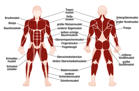 Muscle chart with german description of the most important muscles of the human body - front and back view - isolated vector illustration on white background.