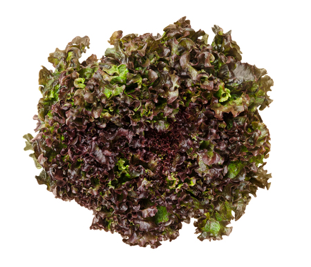 lactuca: Batavia Red lettuce from above over white. Also summer or French crisp. Loose-leaf lettuce. Reddish green salad head with crinkled leafs and wavy leaf margin. Variety of Lactuca sativa. Closeup photo.