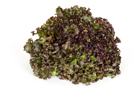 looseleaf: Batavia Red lettuce front view over white. Also summer or French crisp. Loose-leaf lettuce. Reddish green salad head with crinkled leafs and wavy leaf margin. Variety of Lactuca sativa. Closeup photo. Stock Photo