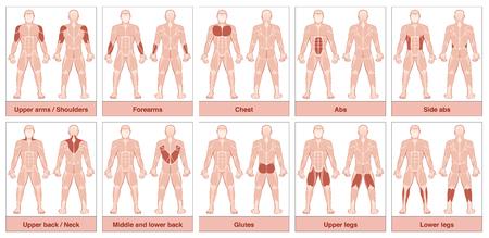 Spiergroepkaart - Mannelijk lichaam met de grootste menselijke spieren, verdeeld in tien gelabelde kaarten met namen en passende gemarkeerde spiergroepen - Geïsoleerde vectorillustratie op witte achtergrond. Stock Illustratie