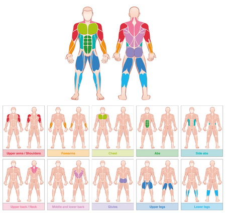 Muscle groups - chart with largest human muscles - ten colored labeled cards - isolated vector illustration on white background.