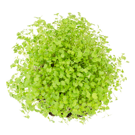 Rocket salad, fresh sprouts and young leaves from above on white background. Edible salad vegetable and microgreen. Also known as arugula, rucola or rugula. Cotyledons of Eruca sativa. Macro photo.