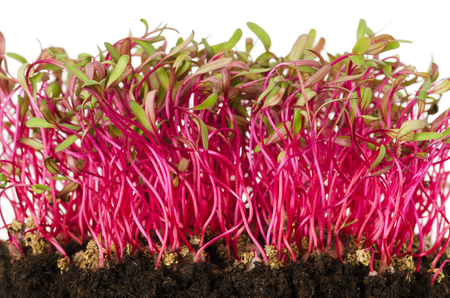 Red beetroot, fresh sprouts and young leaves front view over white. Vegetable, herb and microgreen. Also beet, table, garden or red beet. Cotyledons of Beta vulgaris in potting compost. Macro photo. Stock Photo