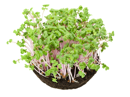 China Rose radish seedlings in potting compost from above. Sprouts, vegetable, microgreen. Chinese winter radish with smooth rose colored skin. Cotyledons of Raphanus sativus. Macro photo over white.