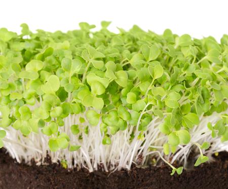 Mizuna Sämlinge in Topf Kompost Vorderansicht. Sprossen, Gemüse, Mikrogrün. Auch Japanische Senfkörner, Kyona oder Spinnensenf genannt. Keimblätter von Brassica juncea. Makrofoto über Weiß. Standard-Bild - 84787551