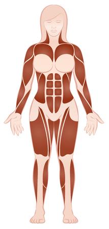 Muskelgruppen eines muskulösen weiblichen Körpers mit Pecs, ABS, Deltoiden, Bizeps, sechs Satz, Viererkabel - Vorderansicht - lokalisierte Vektorillustration auf weißem Hintergrund. Vektorgrafik