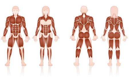 Mannelijke en vrouwelijke spieren - grote spiergroepen van mannen en vrouwen in vergelijking - voor- en achterkant weergave - geïsoleerde vectorillustratie op witte achtergrond. Stockfoto - 86381034