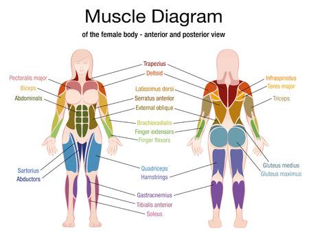 Diagrama muscular del cuerpo femenino con la descripción exacta de los músculos más importantes - vista delantera y posterior - ilustración aislada del vector en el fondo blanco.