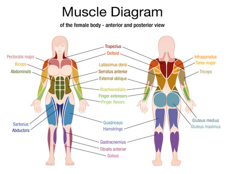 Muscle diagram of the female body with accurate description of the most important muscles - front and back view - isolated vector illustration on white background. Illustration