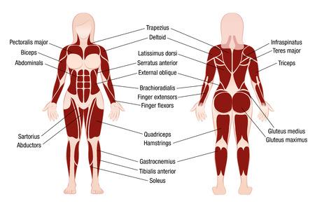 Gráfico del músculo con la descripción exacta de los músculos más importantes del cuerpo femenino - vista delantera y trasera - ilustración aislada del vector en el fondo blanco.