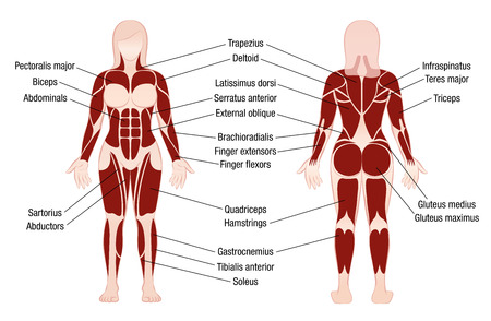 Muscle chart with accurate description of the most important muscles of the female body - front and back view - isolated vector illustration on white background.