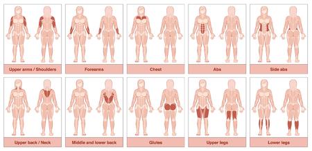 筋肉グループ グラフ - 最も大きい人間の筋肉と女性の身体は、名前と適切な強調表示された筋群 - ホワイト バック グラウンドの分離ベクトル イラ