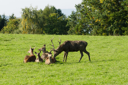 Mature stag sniffing at a doe. European red deer herd on a paddock in the summer sun. One mature stag (male) and four hinds (females). Group of Cervus elaphus in Western Europe. Photo. Stock Photo