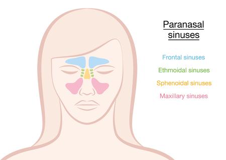 Paranasal sinuses on a womans face vector illustration.