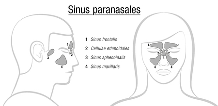 Sinuses with latin names - profile male and front view of female face. Illustration