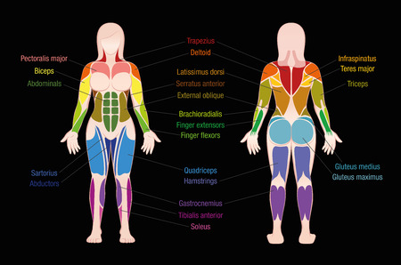 Gráfico de músculos con los músculos más importantes del cuerpo femenino - vista anterior y posterior coloreada - etiquetada ilustración del vector aislada en fondo negro.