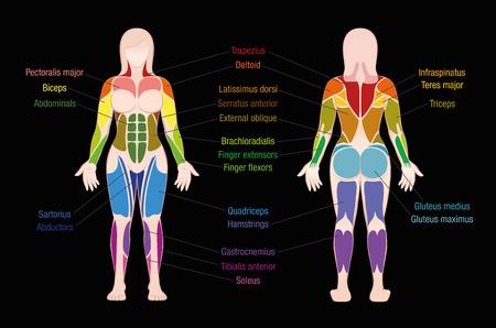 Muskeldiagramm mit den wichtigsten Muskeln des weiblichen Körpers - farbige vordere und hintere Ansicht - beschriftete lokalisierte Vektorillustration auf schwarzem Hintergrund. Standard-Bild - 91353704